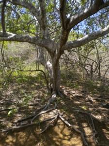 palo-santo-tree
